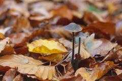 对Mycetinis生长在橙色叶子之间的alliaceus蘑菇 库存图片