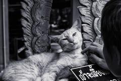 寺庙猫 图库摄影
