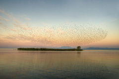 寻常公用starling的八哥类 免版税图库摄影
