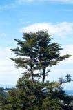 寻常希斯的紧急电报和松树本质上在天空蔚蓝的 免版税库存照片