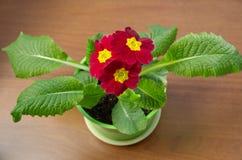 寻常开花的红色的樱草属 库存照片