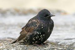 寻常星形starling的八哥类 免版税库存照片