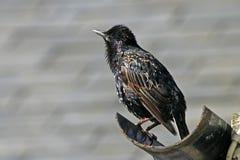 寻常星形starling的八哥类 免版税库存图片