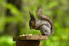 寻常欧亚红色中型松鼠的灰鼠 免版税库存图片