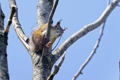 寻常欧亚红色中型松鼠的灰鼠 库存图片