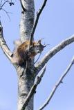 寻常欧亚红色中型松鼠的灰鼠 图库摄影