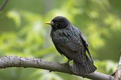 寻常欧洲starling的八哥类 免版税库存照片