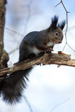 寻常红色中型松鼠的灰鼠 免版税库存图片