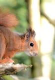 寻常红色中型松鼠的灰鼠 库存照片