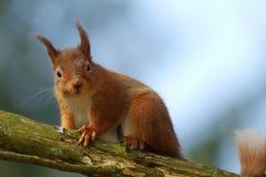 寻常红色中型松鼠的灰鼠 免版税库存照片