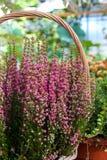 寻常美丽的开花的凉快的紫色刻痕石南花的紧急电报 库存照片