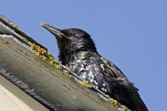 寻常starling的八哥类 图库摄影