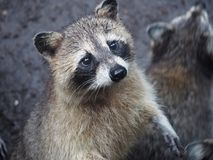 寻找一个小的糖果的浣熊在马提尼克岛动物园里  免版税图库摄影