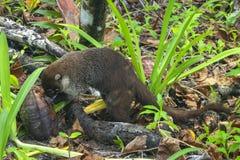 寻找午餐,Cahuita公园的白色被引导的浣熊 免版税库存照片