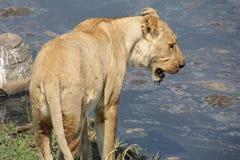 寻找可能性的狮子喝水 免版税库存图片