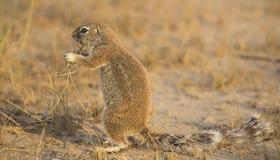 寻找在干燥卡拉哈里沙子的一只地松鼠食物 免版税图库摄影