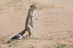 寻找在干燥卡拉哈里沙子的一只地松鼠食物 免版税库存图片