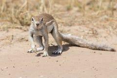 寻找在干燥卡拉哈里沙子的一只地松鼠食物 免版税库存照片