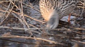 寻找在泥泞的水坑的母野鸭鸭子食物 股票视频