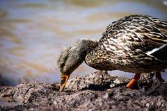 寻找在泥的一只棕色鸭子蠕虫 免版税图库摄影