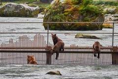 寻找在海恩斯阿拉斯加附近的北美灰熊母亲和崽 免版税库存照片
