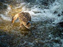 寻找在石头的母野鸭鸭子食物在瀑布附近 免版税图库摄影