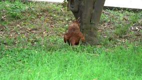 寻找在草的布朗母鸡食物 股票视频