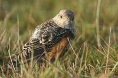 寻找在草的食物的极为少见的少年岩石鹅口疮Monticola saxatilis在威尔士,英国 免版税库存图片