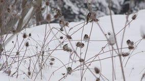 寻找在起毛机蓟川续断属灌木的小的五颜六色的欧洲金翅雀鸟Carduelis种子冬天 股票录像
