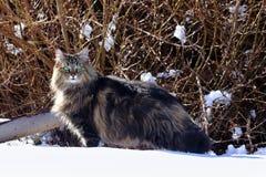 寻找在雪的一只俏丽的幼小挪威森林猫 免版税库存照片