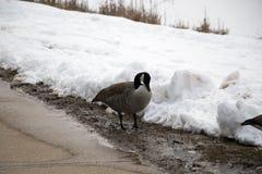 寻找在雪的鹅食物在边路附近 免版税库存照片