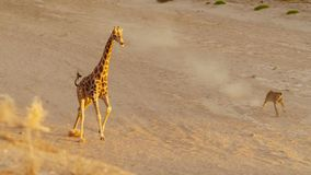 寻找在Etosha野生生物储备的狮子一头长颈鹿在纳米比亚 库存照片