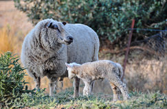 寻找她新出生的小羊羔的美利奴绵羊 免版税库存照片
