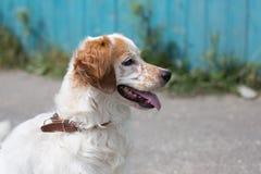 寻找它的新所有者和希望的一条无家可归的狗的画象它在一个新的家很快将有新的生活 库存照片