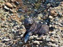 寻找它的sibblings在Wharariki海滩,新西兰的狂放的海狮幼崽 库存图片