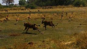 寻找快速地追捕飞羚的狮子 库存图片