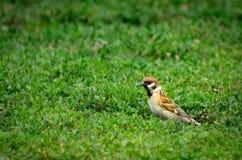 寻找昆虫的山麻雀在草捕食 免版税库存图片