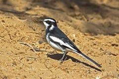 寻找昆虫的染色令科之鸟 免版税库存图片