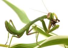 寻找查出的螳螂白色 库存照片