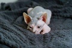 寻找注意玩具的小猫 图库摄影
