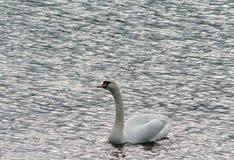 寻找爱的孤独的天鹅 库存图片