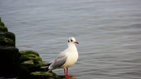 寻找牺牲者的一只海鸥由海边 库存图片
