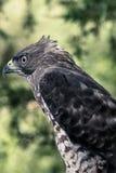 寻找牺牲者的饥饿的鹰来 免版税库存图片