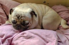 寻找睡觉的逗人喜爱的狗品种哈巴狗一个舒适的地方 免版税库存图片