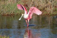 寻找粉红琵鹭水 免版税库存图片