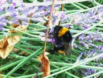 寻找花蜜的一只土蜂 图库摄影
