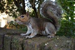 寻找食物和摆在为照相机的我的灰鼠 库存图片