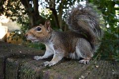 寻找食物和摆在为照相机的我的灰鼠 免版税库存照片