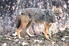 寻找食物狐狼 库存照片