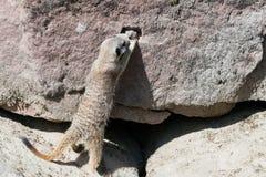 寻找食物的一成人meerkat 免版税库存照片